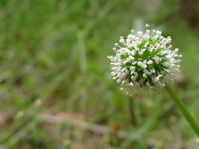 Bidgee-widgee in flower