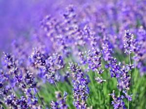 Picture is a closeup of a lavender plant bush.